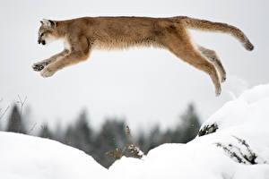 Фотография Пумы Снег Прыжок Животные