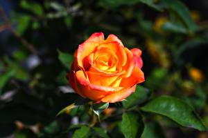 Обои Розы Крупным планом Цветы