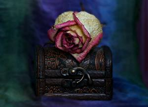 Фотографии Роза Вблизи Лепестки Капельки Сундук сокровищ