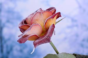 Картинка Розы Вблизи Снег Цветы