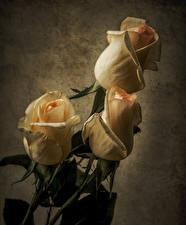 Обои Розы Вблизи Втроем