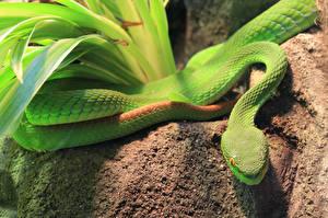 Картинки Змеи Зеленый Животные