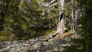 Картинка Швеция Леса Камни Ель Hummelvik Природа