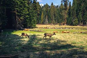 Картинка США Парки Леса Калифорния Трава Sequoia National Park Природа