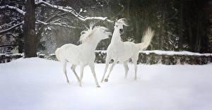 Картинки Зимние Лошадь Снега 2 Белая Животные
