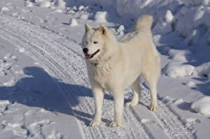 Фотография Зимние Дороги Собаки Снег Хаски Белый Животные