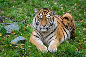 Фото Осень Камень Тигры Трава Лапы Смотрит Животные
