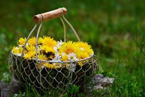 Обои Маргаритка Одуванчики Трава Корзина Цветы