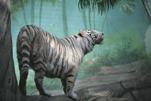 Картинка Большие кошки Тигры Белый Животные