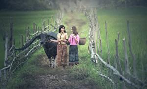 Обои Быки Азиаты Тропа Трава Рога Забор