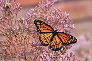 Фотографии Бабочка Данаида монарх Вблизи животное