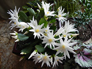 Обои Кактусы Вблизи Белый Цветы