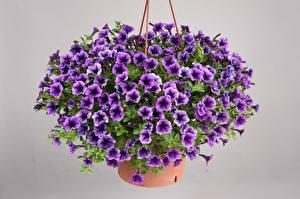 Картинки Калибрахоа Много Серый фон Фиолетовый Цветы