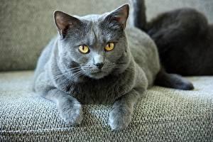 Фотографии Коты Серый Лапы Смотрит Cartesian cat (Chartreuse) Животные