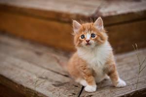 Фотография Кошки Котята Рыжий