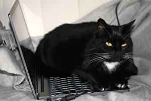 Фото Коты Ноутбуки Черный Усы Вибриссы Смотрит Животные