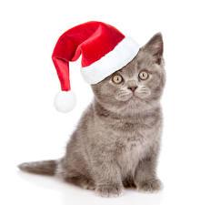 Фото Новый год Коты Белом фоне Котенка В шапке Смотрят Животные