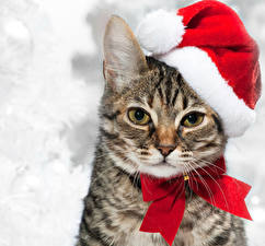 Фотографии Новый год Кошки Шапки Смотрят Морды Бантики животное