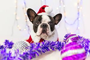 Фотография Новый год Собака Французский бульдог Шапка Морда животное