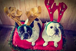 Обои Новый год Собаки 2 Бульдог Рога Взгляд Животные
