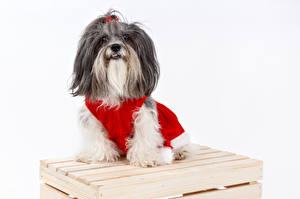 Картинки Рождество Собаки Белый фон Гаванский бишон Смотрит Животные