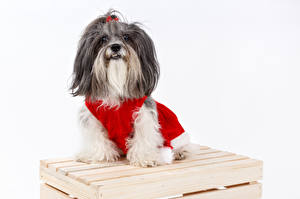 Картинки Рождество Собака Белым фоном Гаванский бишон Взгляд