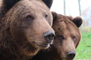 Фотография Вблизи Медведи Гризли Морда Смотрит Нос 2 Животные