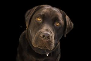 Картинки Крупным планом Собаки Черный фон Морда Смотрит Ретривер Labrador Животные