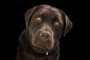 Картинки Крупным планом Собака Черный фон Морда Смотрит Ретривера Лабрадор-ретривер