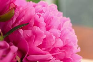 Фото Крупным планом Макро Пион Розовые Цветы