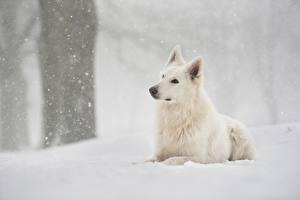 Картинка Собаки Белый Овчарка Снег Berger Blanc Suisse