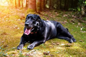Фото Собаки Черная Язык (анатомия) Смотрят Лапы Ретривер Лабрадор-ретривер животное