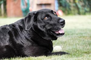 Картинки Собака Трава Черный Смотрят Ретривер Лабрадор-ретривер Животные