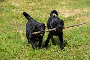 Картинки Собаки Трава Шнауцер Вдвоем Ретривер Лабрадор-ретривер животное