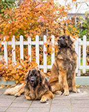 Обои для рабочего стола Собаки Два Leonberger животное