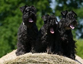Фотография Собака Шнауцер Трое 3 Черные Язык (анатомия) Солома животное
