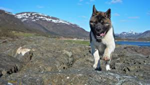 Обои Собака Камень Акита-ину Язык (анатомия) Лапы животное