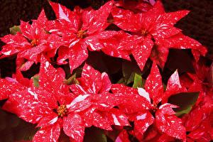 Фото Молочай Крупным планом Красный Цветы
