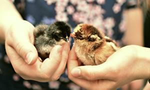 Фото Пальцы Крупным планом Птенец курицы Руки животное