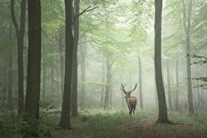 Фотография Леса Олени Деревья Туман Животные