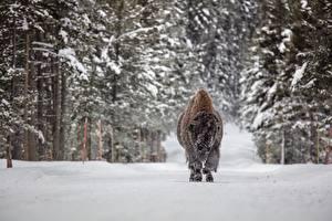 Картинка Лес Зима Бизон Снега Животные
