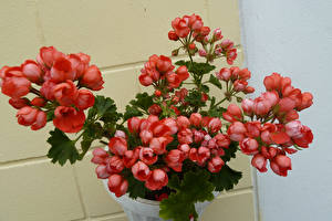 Фотография Герань Вблизи Розовые Цветы