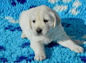 Картинки Золотистый ретривер Собаки Щенок Лапы Смотрит Белый Животные