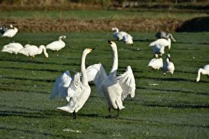 Фотографии Луга Птицы Гуси Трава Сражение Животные