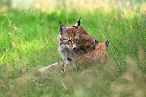 Фотография Рыси Детеныши 2 Трава Животные