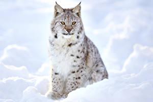 Фотография Рыси Снега животное
