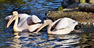 Картинка Пеликаны Птицы Пруд Вдвоем Клюв Животные