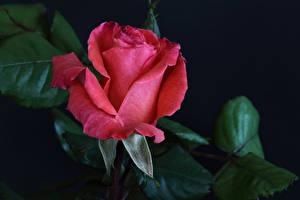 Фотографии Розы Вблизи Черный фон Красный Цветы