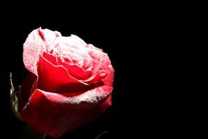 Обои Розы Вблизи Черный фон Красный Снег Цветы