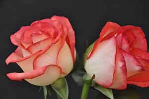 Обои Роза Крупным планом На черном фоне 2 цветок